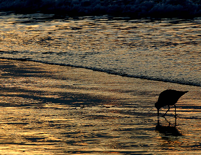 <b>La Jolla Shores Sunset</b><br>These birds are my favorite. I chase them around the beach just to get a single shot. I love the way they venture into the water when the tide pulls and rush back into the shore as the waves come back. I love how quickly and yet in tiny motions they move. In this particular evening, La Jolla Shores, which is the closest beach to our house had a children's surfing contest but the birds didn't seem to care. They went about their business and kept their distance from the unwelcome crowd on the beach.