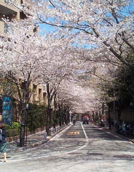 April, cherry blossom season, or sakura as it's called in Japanese